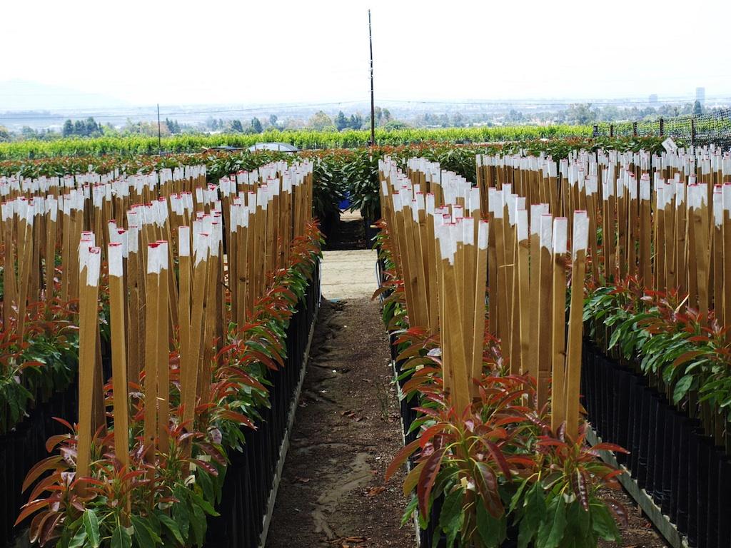 avocado nursery 5.jpg